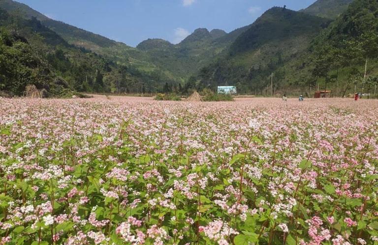 Loài hoa được trồng rất nhiều ở Hà Giang