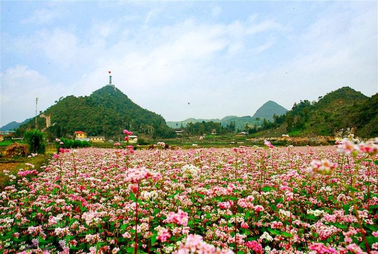 Những cánh đồng hoa tam giác mạch rộng lớn