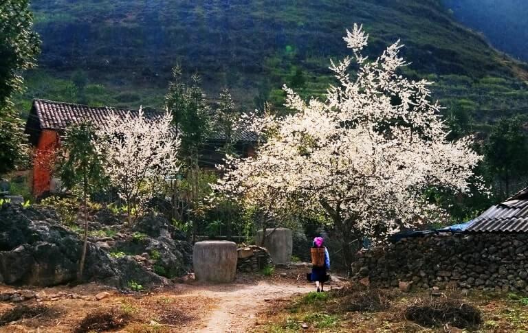 Du lịch Hà Giang mùa nào đẹp? Cảnh sắc mùa xuân ở Hà Giang