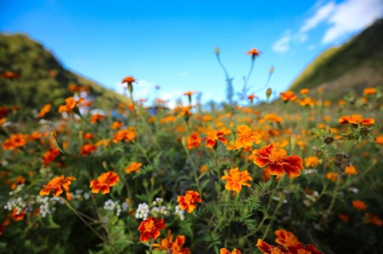 Du lịch Hà Giang tháng 12 để ngắm hoa cúc dại