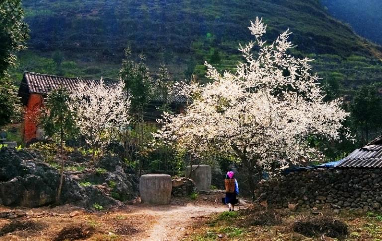 Du lịch Hà Giang tháng 2 để ngắm khung cảnh hoa mận khoe sắc như tuyết rơi