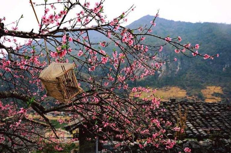 Khắp nơi ở Hà Giang đều có hoa đào cho bạn chiêm ngắm