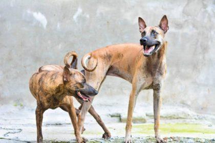 Trại chó Phú Quốc hội tụ rất nhiều chủng chó xoáy khác nhau