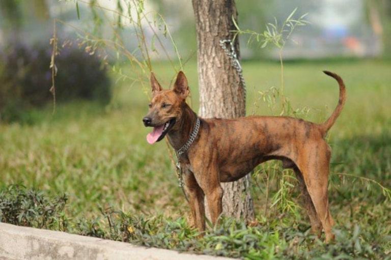 Chó xoáy thích sống tự do, không nuôi nhốt