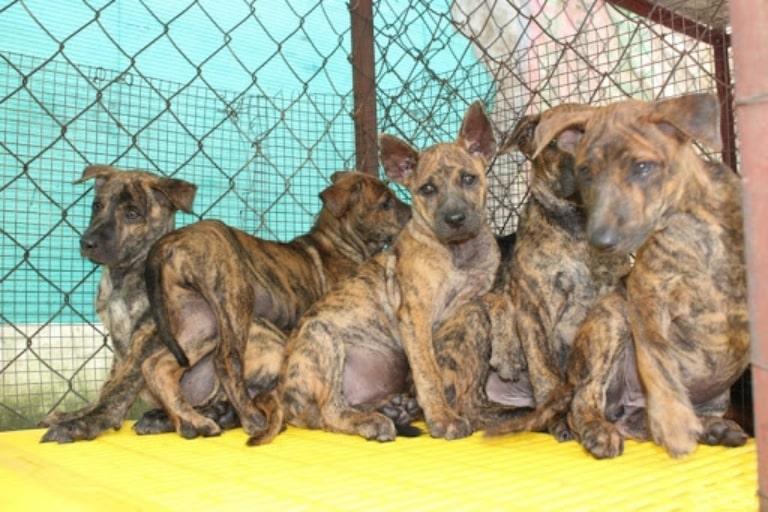 Mua chó xoáy ở trại chó đảo ngọc là yên tâm về chất lượng