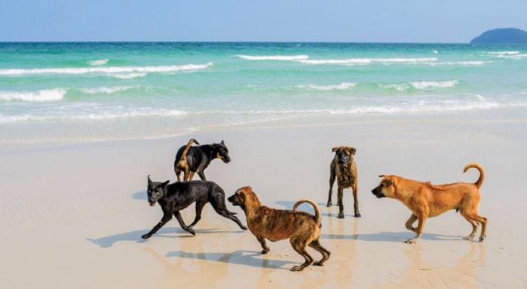 Chó xoáy Phú Quốc chính là quốc khuyển của Việt Nam