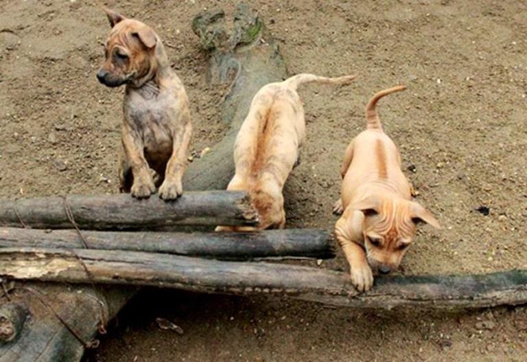 Vẫn chưa tìm được tài liệu ghi lại nguồn gốc chính xác của chó xoáy