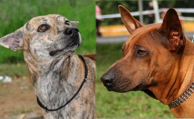 Khuôn mặt của chó xoáy Phú Quốc có nhiều đặc điểm đặc trưng