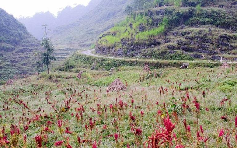 Màu tía đỏ của hoa dền