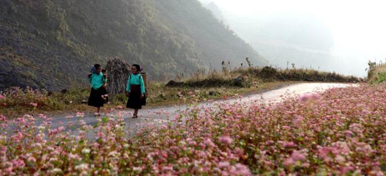 Hoa tam giác mạch đặc trưng của Hà Giang