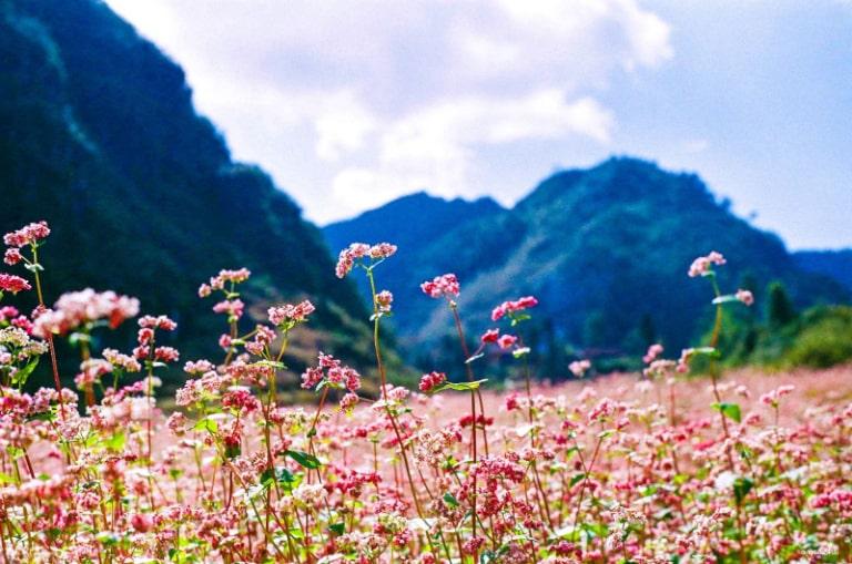 Hoa tam giác mạch nở trên các sườn núi