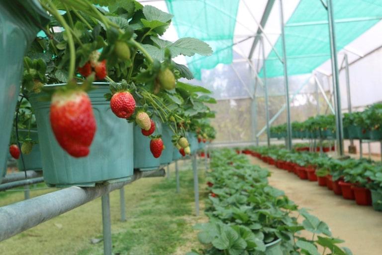 Những trái dâu tây chín mọng đầy mê hoặc tại resort 4 sao Terracotta Đà Lạt