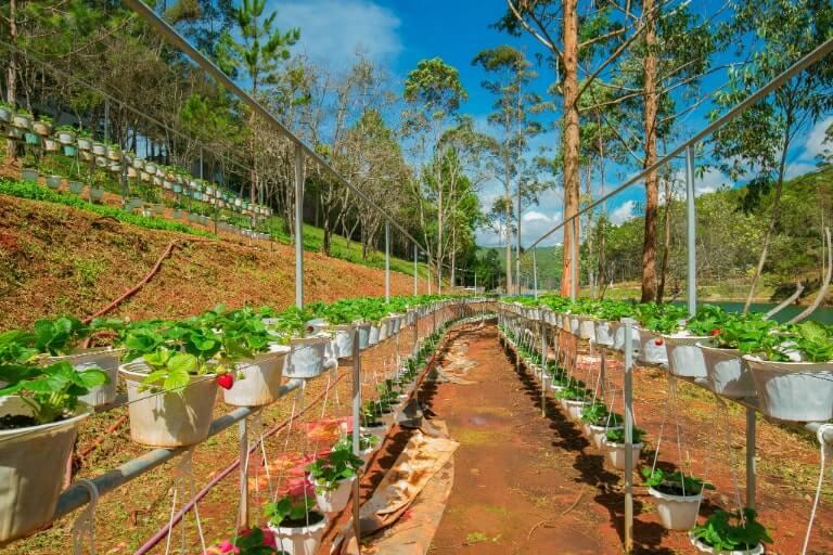 Vườn dâu tây thu hút nhiều du khách ở Đà Lạt